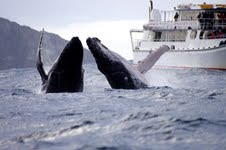 Whales off Port Stephens - by Imagine Cruises