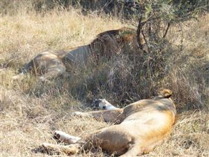 MALE and female lion sleep it off after fun and games roadside in Kruger National Park. (David Ellis)