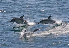 Dolphins at Port Stephens2 - Moonshadow Crusies