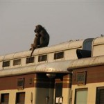 BABOONS (centre and right) hitch a lift on the Shongololo Express. (Shongolo Express)