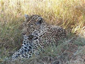THIS leopard had just finished dining on a 4m rock python on Sabi Sabi Private      Game Reserve. (David Ellis)