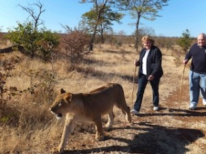 """AND she leads them off on their never-to-be-forgotten """"Walking with the Lions."""""""
