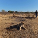 """THULI and Thembi await their daily walk with visitors at Africa's """"Walking with the Lions."""""""