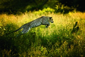 WOV_Beverly_Joubert_Leaping_Leopard_NEW_small