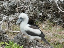 Birds Abbotts_Booby).Wikipedia