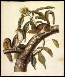 "Audubon's ""Eastern Grey Squirrel,"" 1821. Buffalo Bill Center of the West, Cody, Wyoming, USA. William E. Weiss Memorial Fund Purchase. 2.98"
