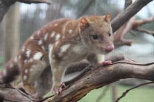 The endangered spot-tailed quoll at home at Moonlit Sanctuary