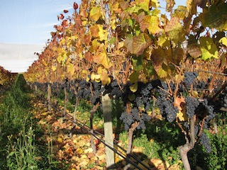 Central Otago, home to some of the world's best Pinot Noir_media
