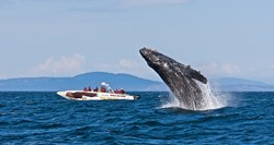 Humpback Whale breaching with Eagle Wing Tours boat