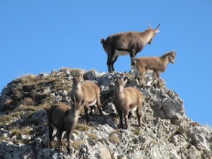 Switzerland Pilatus Cogwheel Railway Ibex colony