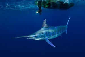 Blue Marlin by Scott Portelli. Courtesy of the Underwater Festival
