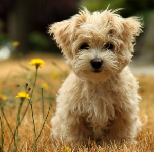Breed - Toy poodle
