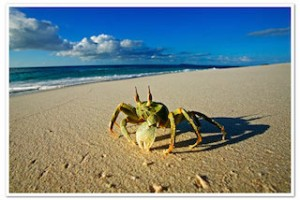 A Ghost crab scurries along the beach © Martin Harvey