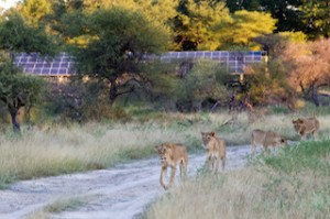 Visitors around Mombo camp with solar installation in the background - photo credit Caroline Culbert
