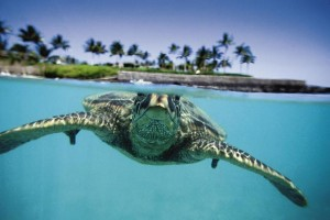 Underwater shot of Sea Turtle.