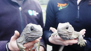 29-year old tuatara Rex and Tane look forward to seeing their new home_media