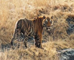 Tiger sighting is a major attraction at the wildlife parks of MP