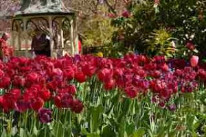 TULIP Time more recently… (Destination Southern Highlands)