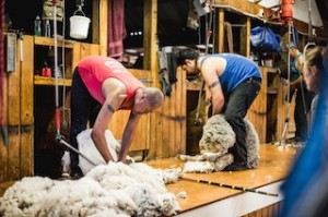 Shearing at Mt Nicholas High Country Station started last week_media