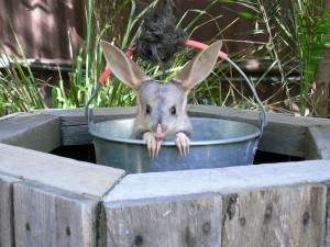 Featherdale's Easter Bilby