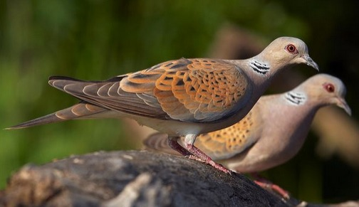 A pair of turtle doves. They mate for life.