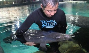 img-4-aquarist-keith-so-conducts-physical-check-on-baby-manatee-canola