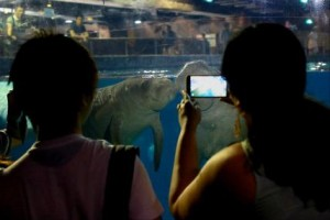 img-5-visitors-come-up-close-with-baby-manatee-canola