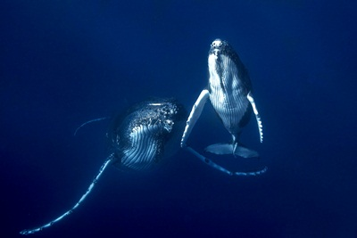 whales in Tonga - Majestic Whale Encounters