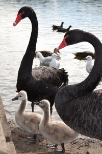Cygnets with Parents