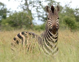 A zebra will run to safety when it hears a rustle in the bushes that may be a predator