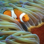 Great Barrier Reef_ Clownfish_in_Anemone_ courtesy of TEQ