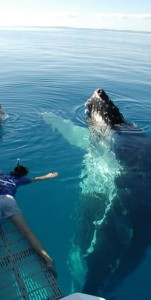 13-07 - Swim With Humpback Whales Confirmed for another Year