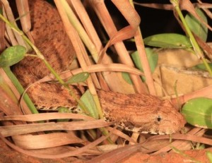 Sudden death in camouflage - the Kimberley death adder
