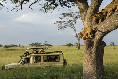 Travellers with tour guide photographing Lion cubs in tree on a game dri...