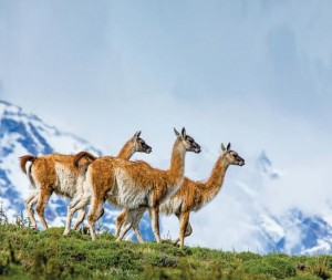 Guanacos (Lama guanicoe), Torres Del Paine National Park, Patagonia, UNESCO World Heritage Site, Chile, South America