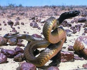 Swift death - inland taipan