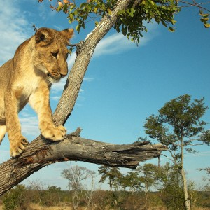 Young lion (Panthera leo) playing in a tree at sunset