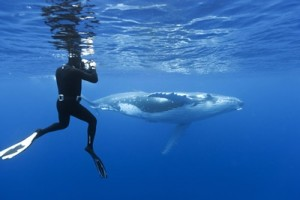 Megaptera novaeangliae and human, underwater picture showing man using camera to photograph young humpback whale in blue water