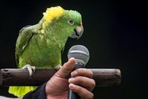 jbp45-amigo-the-yellow-naped-amazon-parrot-sings-happy-birthday