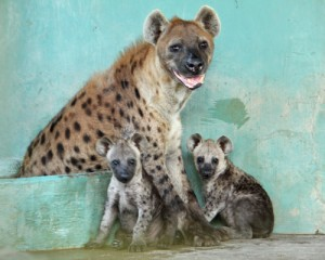 wrs-ns-night-safari_s-cackle-of-spotted-hyenas-added-two-more-to-their-family-in-october-born-fully-black-the-pups-slowly-develop-spots-characteristic-of-the-species-within-months