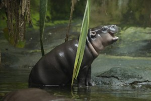 wrs-sz-ayana-which-means-blossoming-beauty-is-singapore-zoo_s-latest-pygmy-hippopotamus-addition-she-was-born-on-11-april-2015
