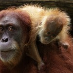 wrs-sz-chomel-a-critically-endangered-sumatran-orangutan-gave-birth-to-a-male-on-16-september-2015-orangutans-are-singapore-zoo_s-flagship-species-2