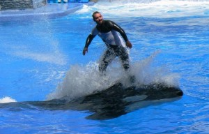 Trainer 'surfing' on top of Katina, a killer whale at SeaWorld Orlando