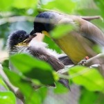 Blue-crowned Laughing Thrush 1