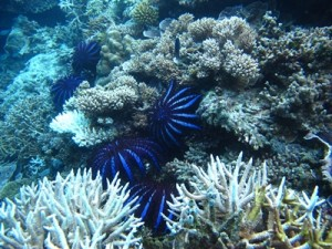 W-Maldives_crown-of-thorns-starfish-1_low-res