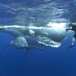 Megaptera novaeangliae horizontal underwater picture showing mother and baby interacting