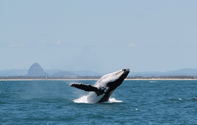 Whale-breaching-in-front-of-glasshouse-Mtns-1-photo-by-Katie-Jac