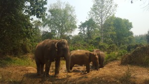 2. Roaming elephants at an Elephant Camp