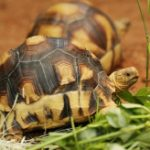 image-1-sz-ploughshare-tortoises-in-naturalistic-environment_wrs