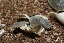 image-2-sz-southern-river-terrapin-hatchling_wrs